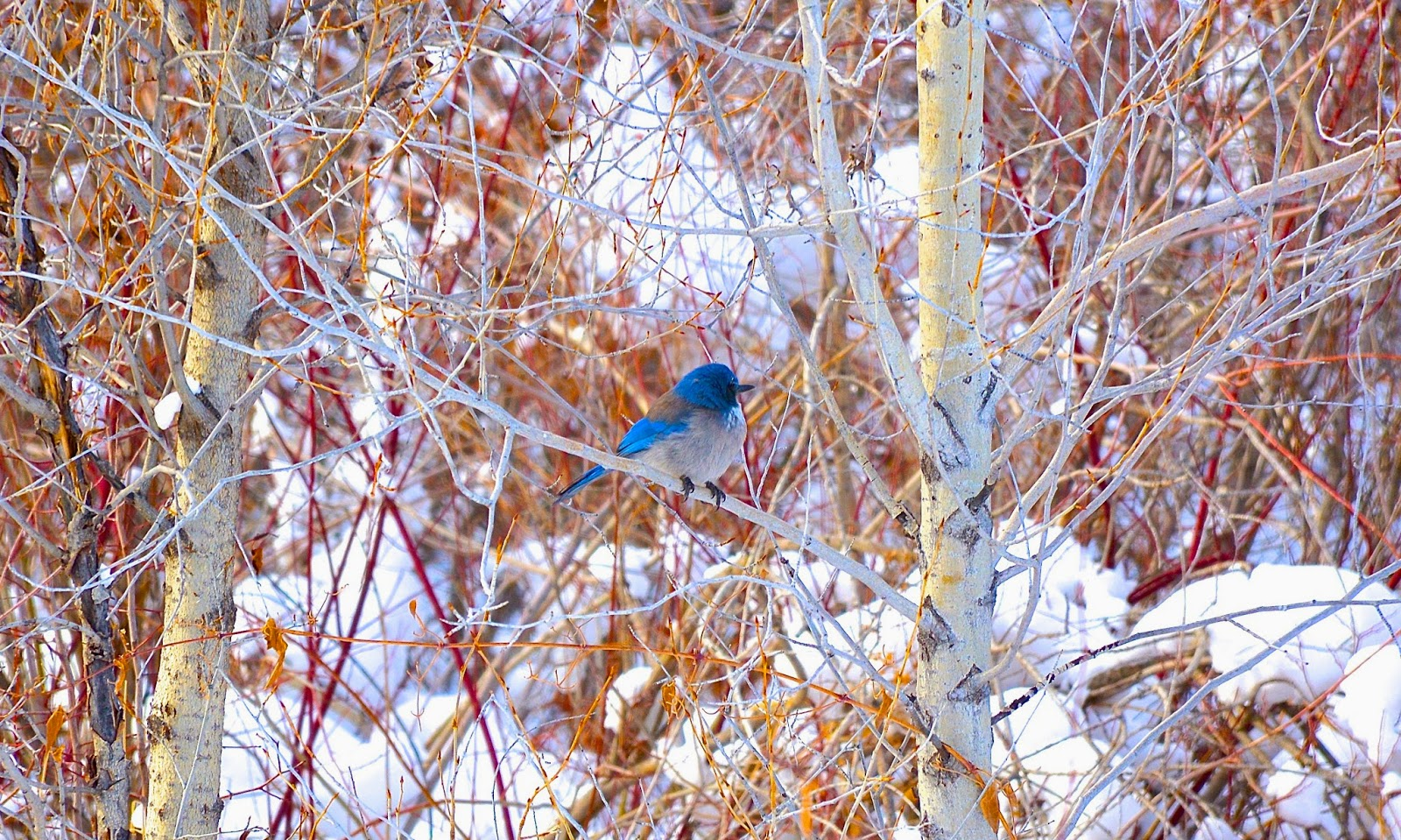 Western bluebird in Colorado