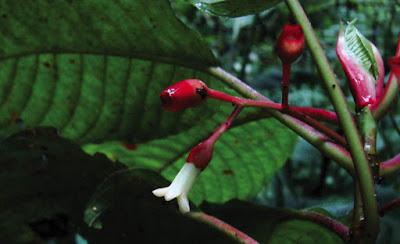 nueva planta de café en Honduras