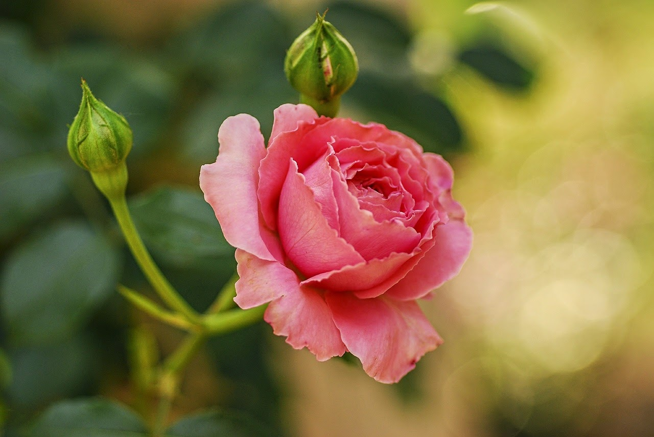 pink rose valentine day 2015