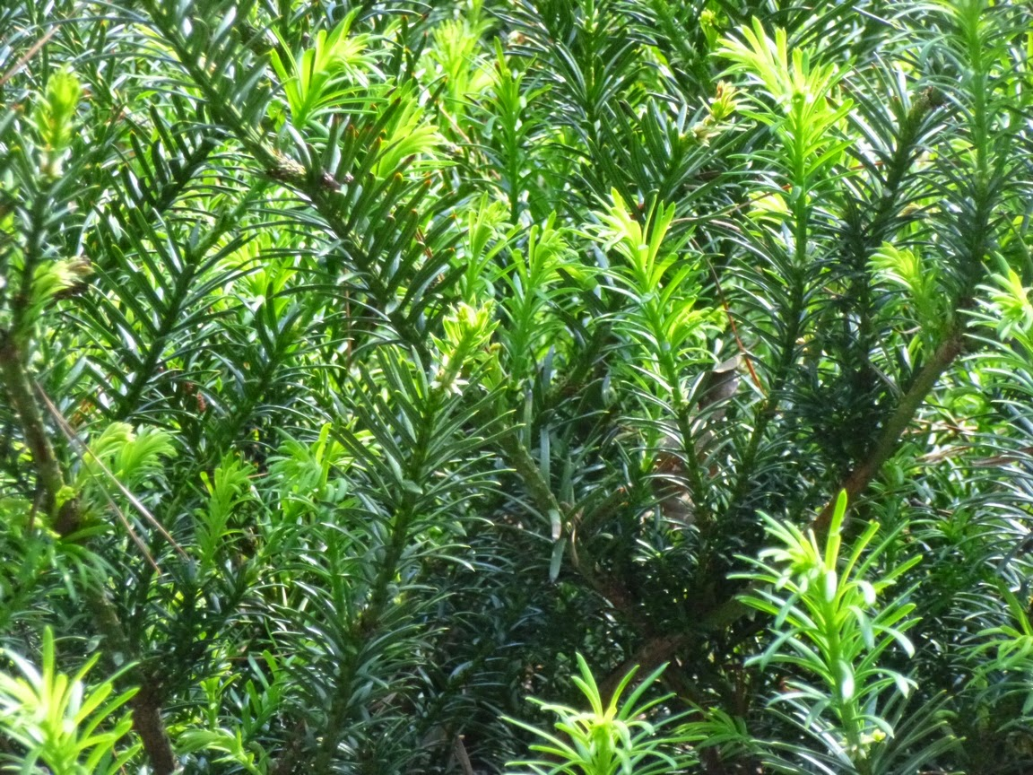 Close up on foliage of Cephalotaxus harringtonia McCorkle