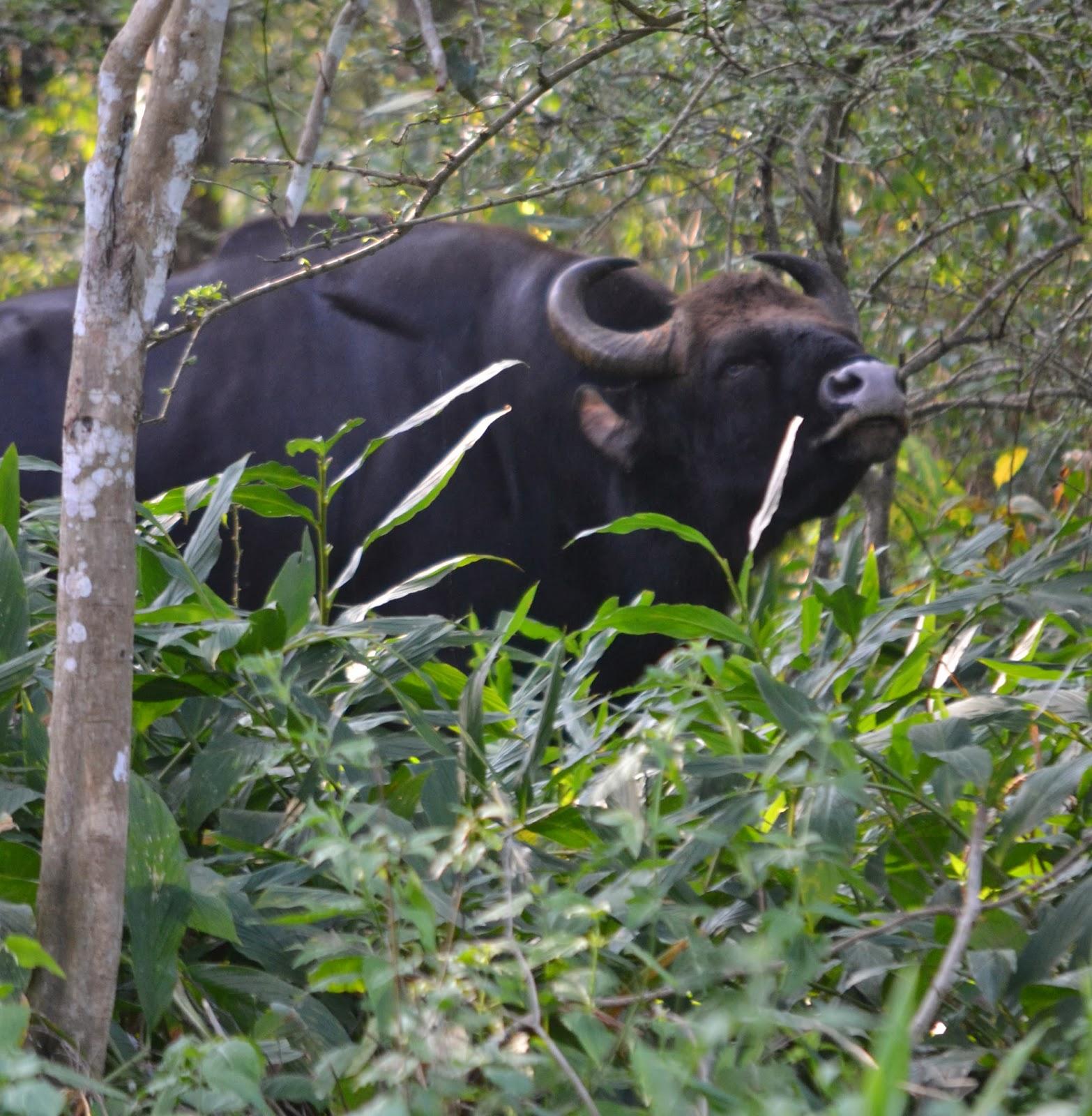 bison india