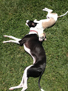 . litter) and Penny (Penne)doing the yin & yang thing, whippet style.