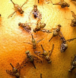 how to get rid of fruit flies in your kitchen. Black Bedroom Furniture Sets. Home Design Ideas