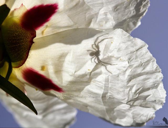 Sombra de Synema globosum en una flor de jara.