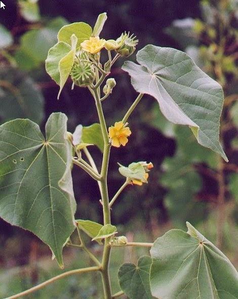 Blog de chasse au chevreuil l 39 arc la mauvaise herbe abutilon - Mauvaise herbe fleur jaune ...