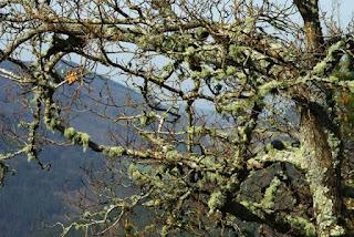 Taramundi, ruta de los molinos, rama con líquen
