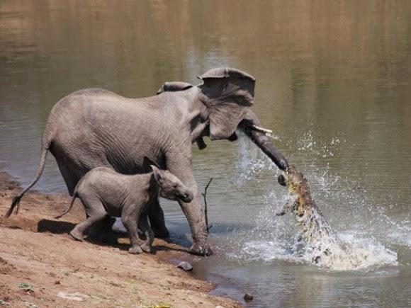 صور نادرة لتمساح يهاجم فيله على ضفاف النهر 06e0080987