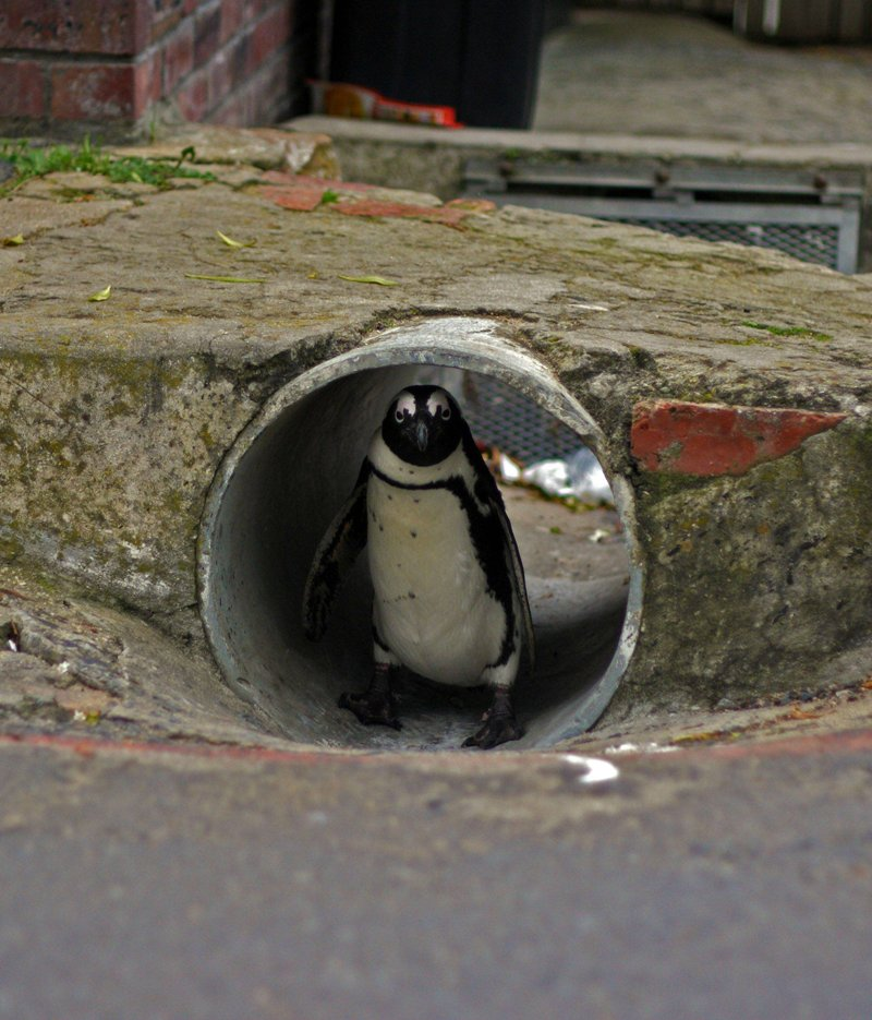 funny animal pictures, penguin in sewer pipe