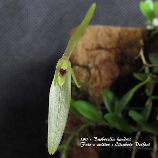Barbosella handroi, Restrepia cogniauxiana, Pleurothallis spegazzoniana