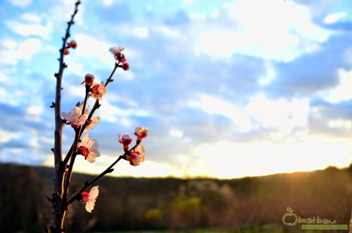 Aprikoseblüte in der Abendsonne