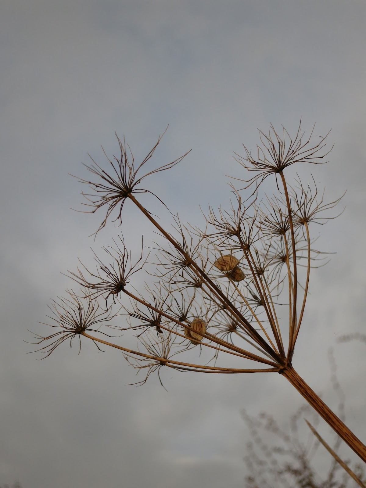 Bare headed umbelliferous plant with four seeds still attached