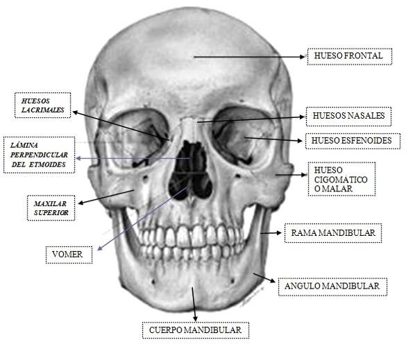 FRACTURA DE CARA | Fisiopatologia