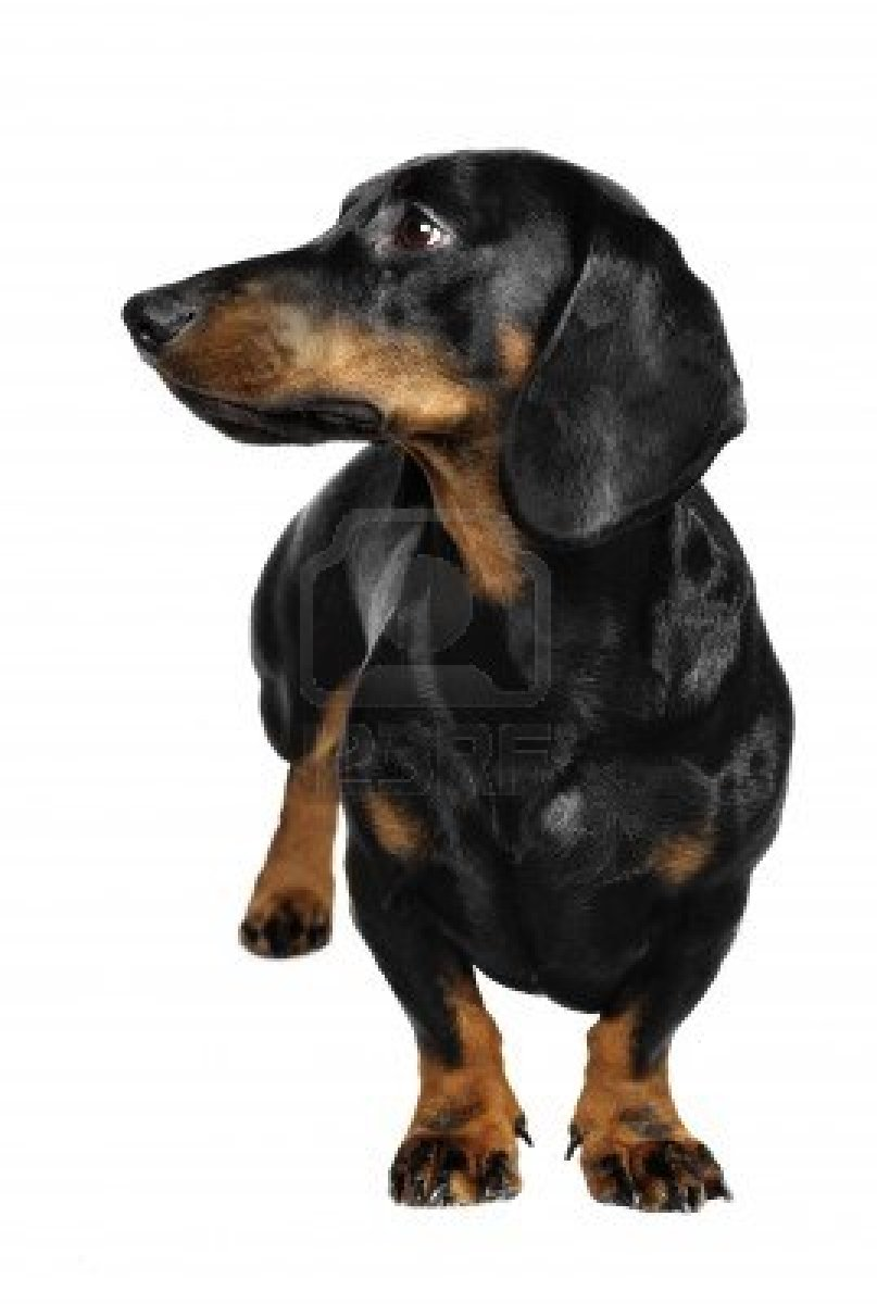 Cute Dogs: Dachshund dog