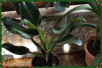 Folhagem planta ornamental Pacová