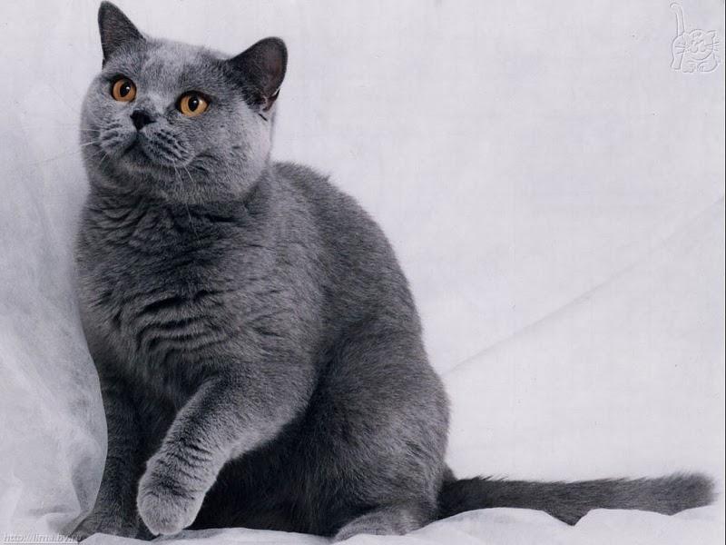 Kucing Russian Blue Jual Peralatan Perlengkapan Dan