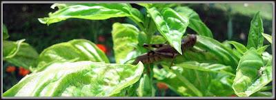 Grasshopper resting in garden basil plant