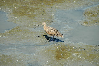Image of a Long-billed Curlew