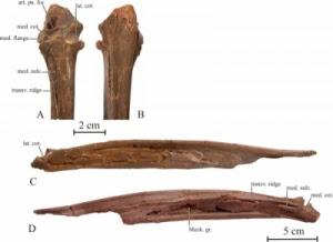 亞洲鳳凰 考古 巨鳥化石 - 亞洲鳳凰 考古發現巨鳥化石 Samrukia nessovi