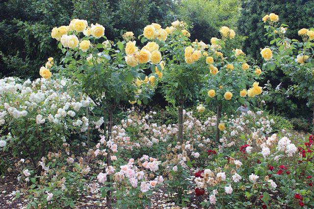 Roses Londres Regent's Park