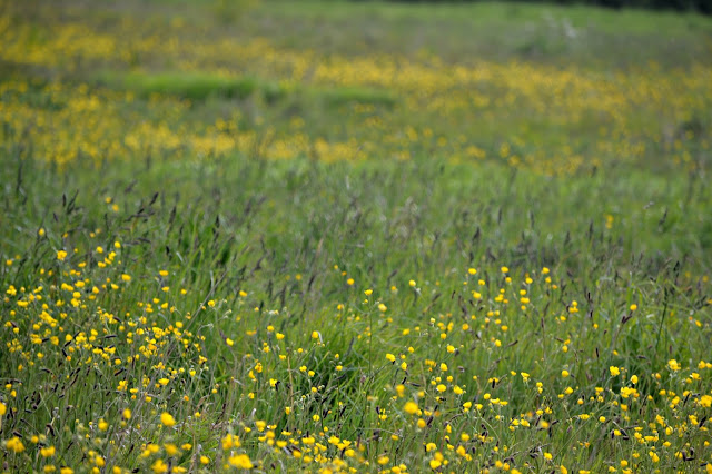 large buttercup meadow