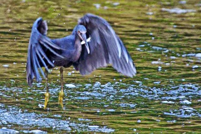 bird eating small fish