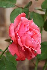 Bela Rosa