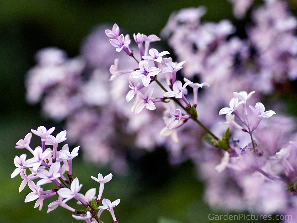 7.Lilac ~ top 10 flowers of love