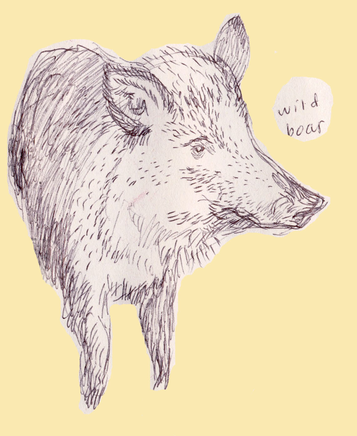 Wild Boar Sketch SketchesWild Boar Sketch