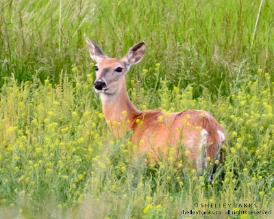 White-tailed Deer at Grasslands National Park, Canada. photo © Shelley Banks, all rights reserved.
