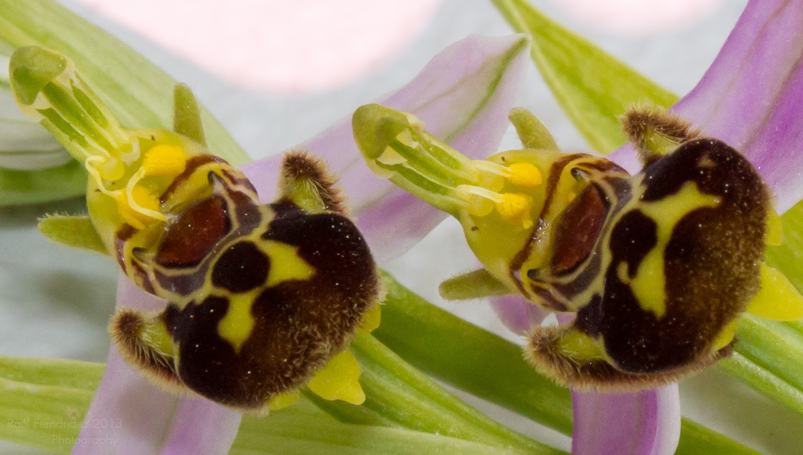 Orquídea abeja