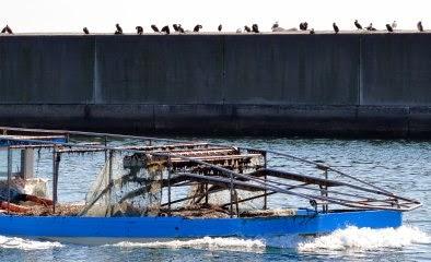 鴎の鵜が並んでる仮屋漁港の写真