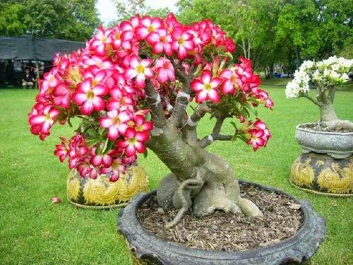 desert rose plant