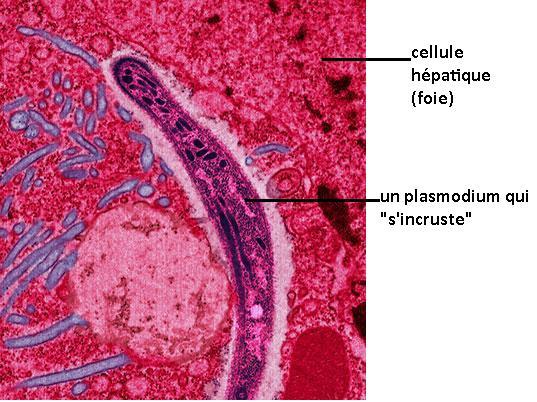 Les parasites dans la viande séchée