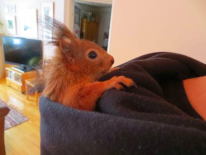 injured baby squirrel finland-7