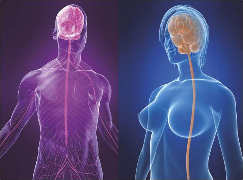 El cerebro humano: Cerebro de hombres y mujeres (Similitudes y ...