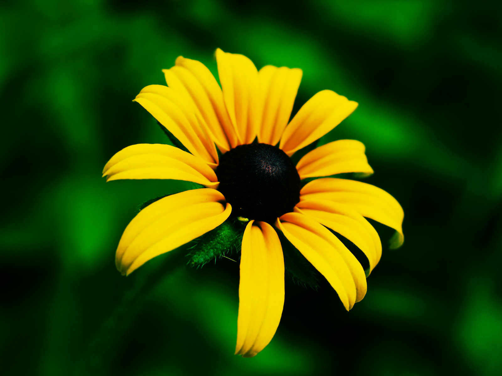 Romantic flowers black eyed susan flower Black eyed susans