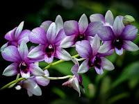 Manfaat Bunga Anggrek Untuk Kehidupan Manusia