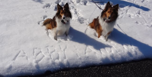 Adventures of Abby and Aiden Sheltie Pups
