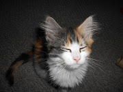 Maine Coon Cats have lots of fur! Not a shedder just needs a combing.