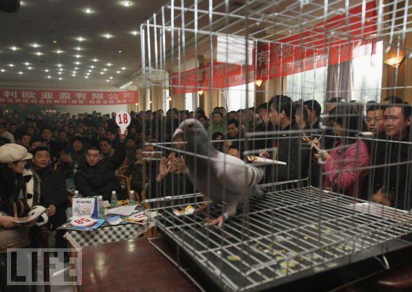 la vente d'une colombe voyageur très cher