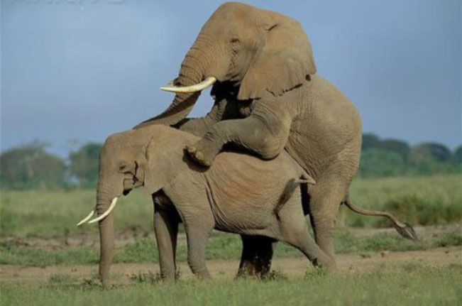 gambar gajah kawin - foto hewan - gambar gajah kawin