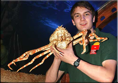 Japanese Spider Crab Eating a Person Japanese Spider Crabs Are