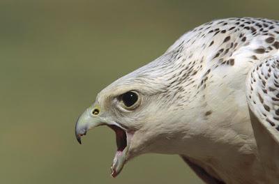 Halcón gerifalte (hembra)