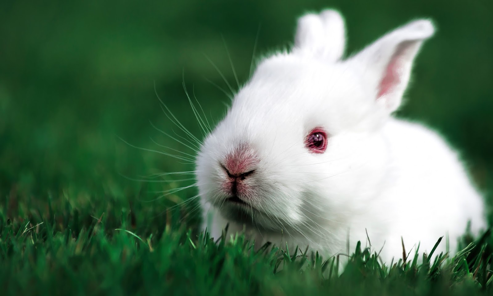 Cute Rabbit HD Wallpapers | HD Wallpapers (High Definition ...