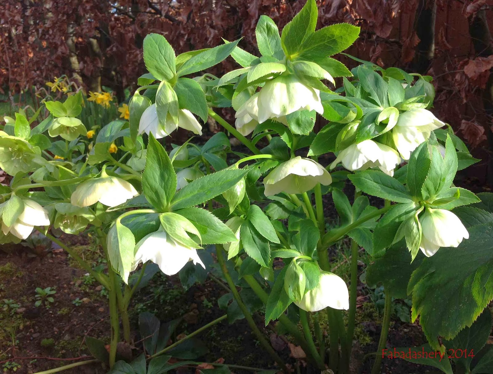 Helebores, Spring 2014
