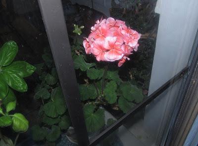 Annieinaustin,Fantasia Salmon pelargonium geranium