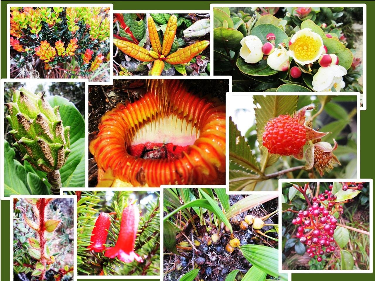 The flora of Mt. Kinabalu, mt kinabalu plants, mt kinabalu flowers, mt kinabalu trail, mt kinabalu itinerary, kota kinabalu plants, mt kinabalu pitcher plant, pitcher plant kota kinabalu, mt kinabalu pitcher plant, pitcher plant kota kinabalu