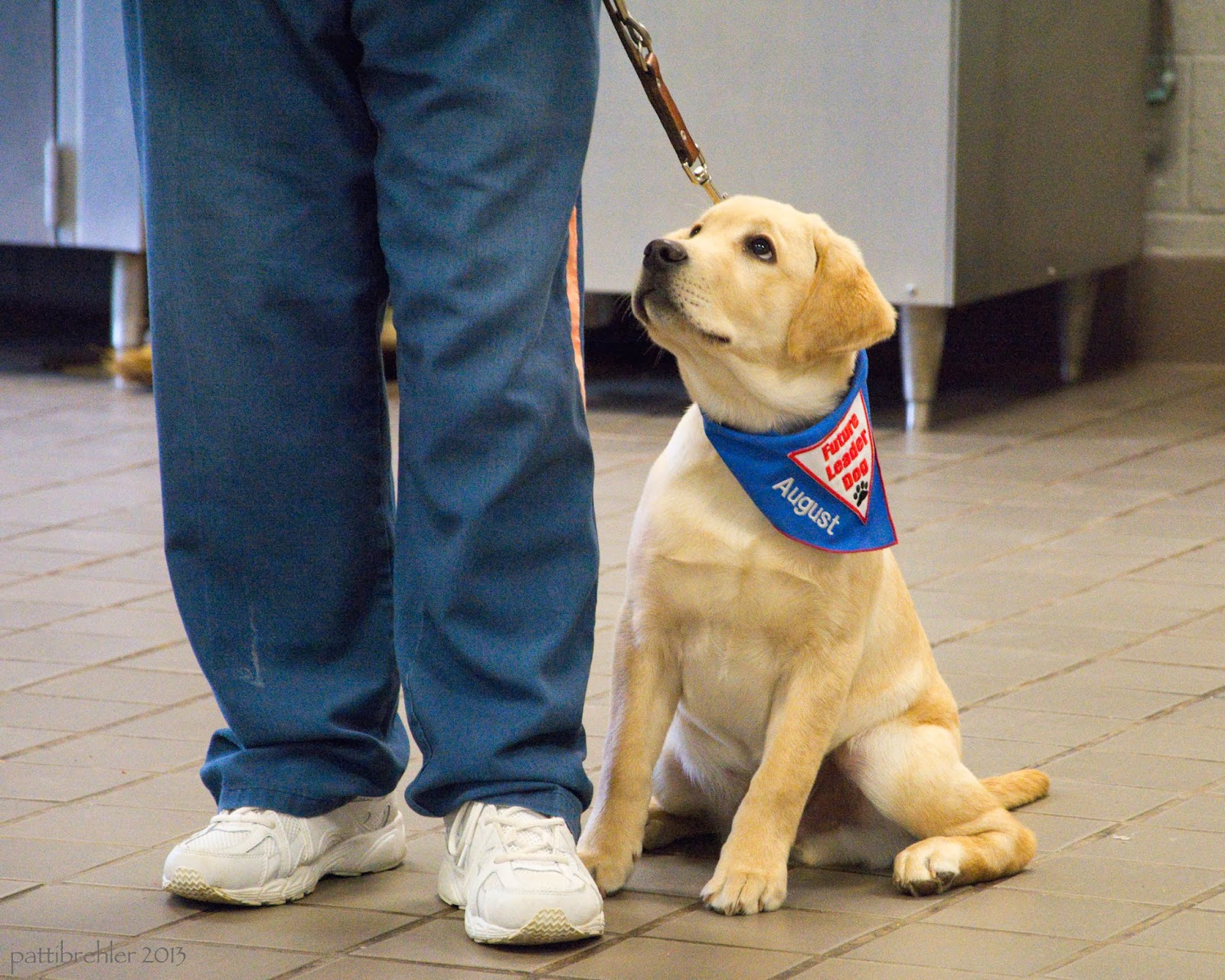 "A floor-level shot of a small yellow lab sitting next to a pair of legs dressed in blue pants and white tennis shoes. The puppy is looking up at the handler and is wearing a blue bandana with a white triangle patch with red words that say Future Leader Dog. The puppy's name ""August"" is embroidered on the blue part of the patch."