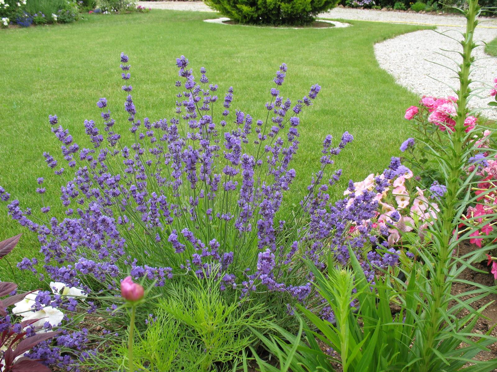 roses du jardin ch neland lavande hidcote blue. Black Bedroom Furniture Sets. Home Design Ideas