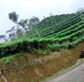 kebun teh pagerharjo